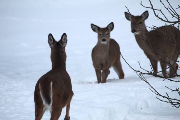 Three Deer Standing On Snow Covered Field