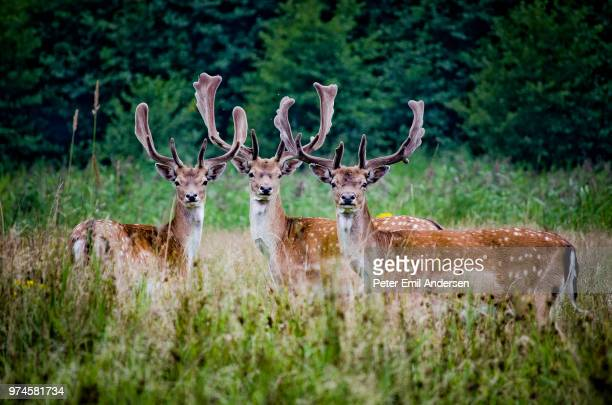 three deers in grass (europe denmark) forrest - buck stock photos and pictures