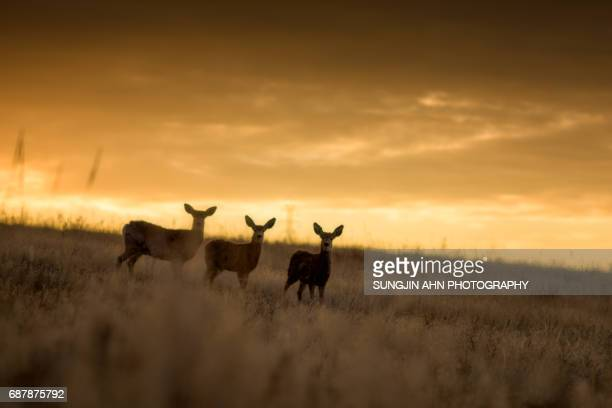 Three Deers