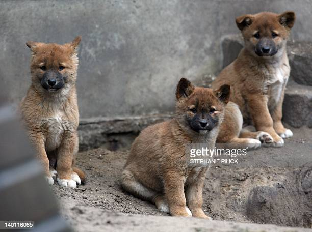 Three dingo puppies sit in their enclosure on February 28 2012 at the Tierpark Friedrichsfelde zoo in Berlin Four baby dingos were born at the zoo on...