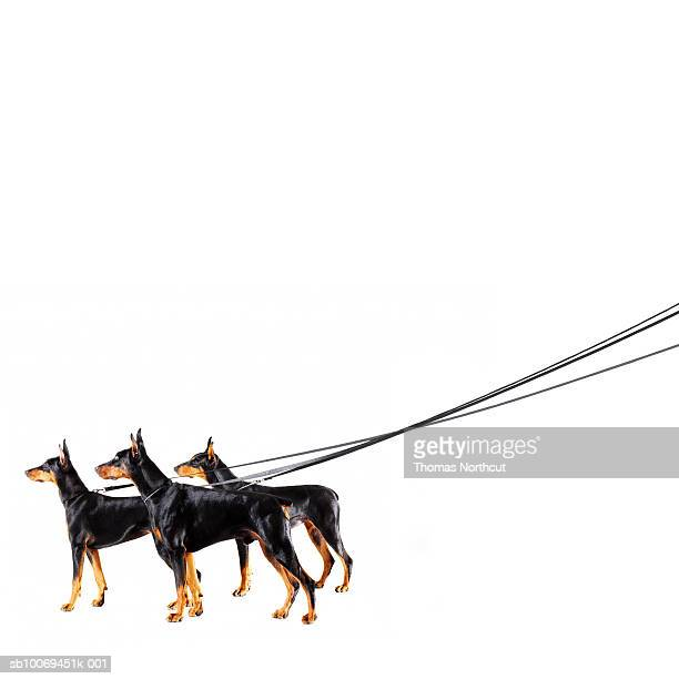 Three Dobermans on leash