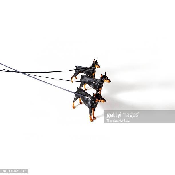 Tres Dobermans de correa