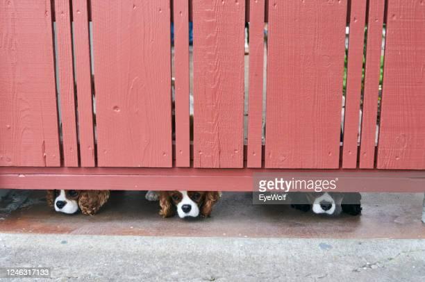 three dog noses peeking under a fence. - ショッキングピンク ストックフォトと画像