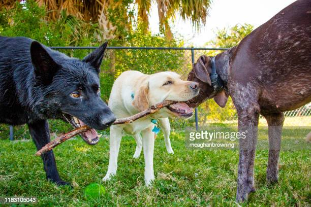 three dogs chewing on a stick, fort de soto, florida, united states - dogs tug of war stock pictures, royalty-free photos & images