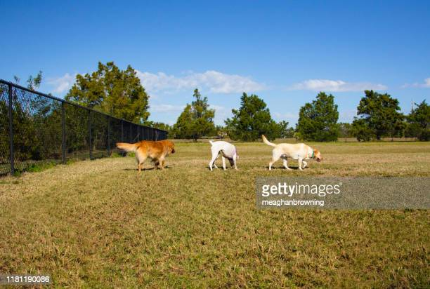 three dogs in a public park, united states - off leash dog park stock pictures, royalty-free photos & images