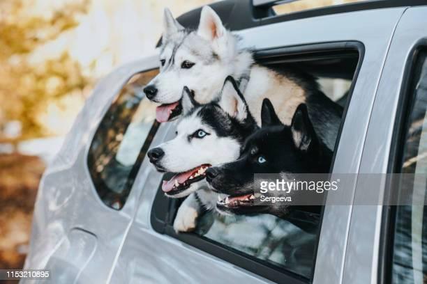 車の中で3匹の犬 - シベリアンハスキー ストックフォトと画像