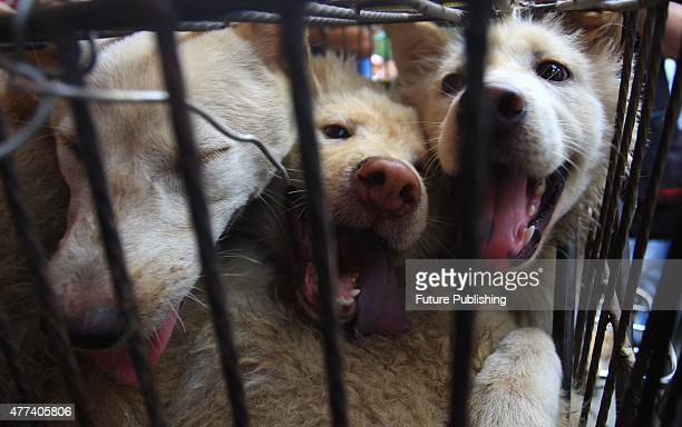 Three dogs looking out from a cage at the market on June 20, 2014 in Yulin, China. An annual Chinese dog meat festival kicked off earlier than usual...