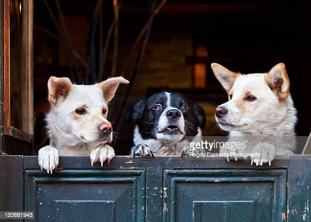 three dogs looking out - three animals stock pictures, royalty-free photos & images
