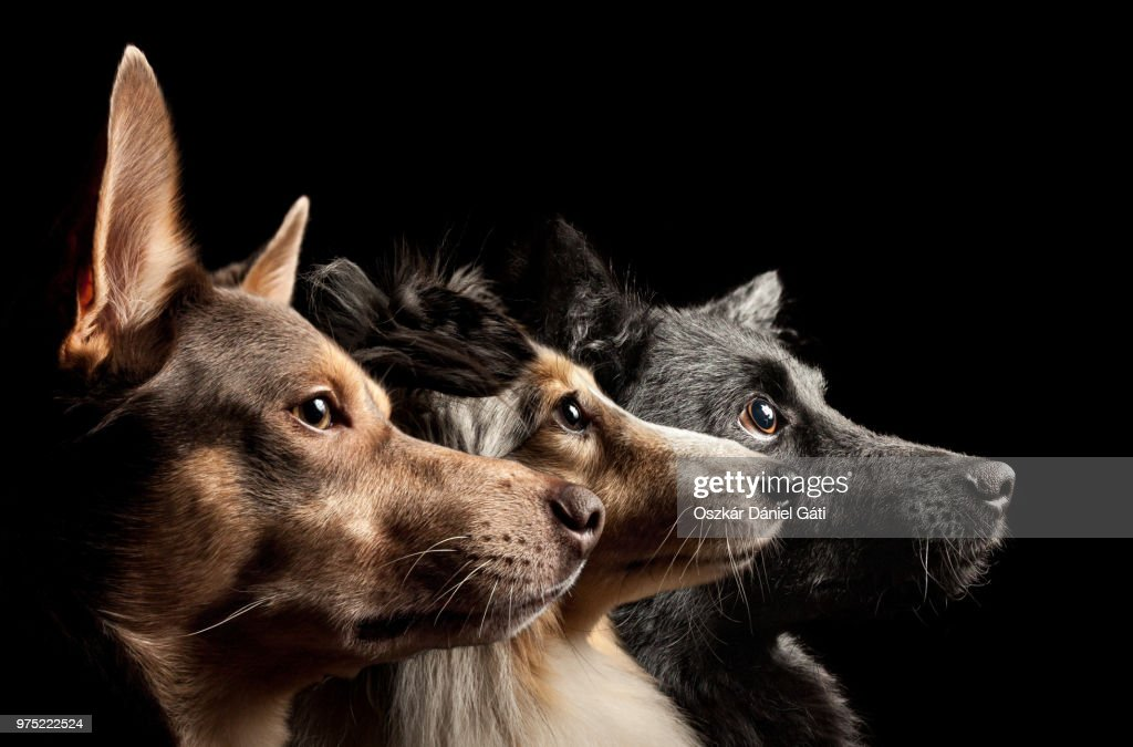 Three dogs looking up : Stock Photo