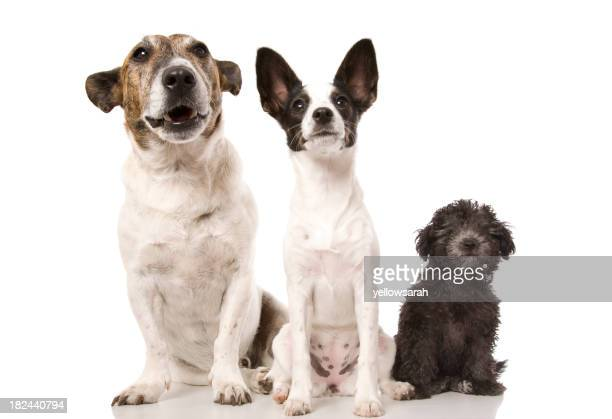 Three dogs ordered left to right from biggest to smallest