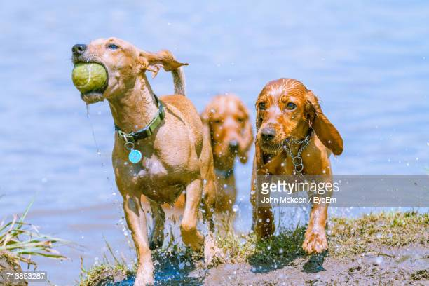 Three Dogs Playing In Water