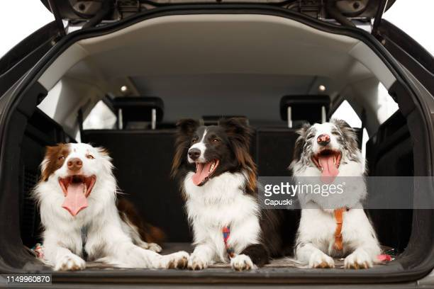 three dogs ready to travel in the trunk of the car - three animals stock pictures, royalty-free photos & images