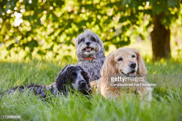 Three dogs relaxing in long grass