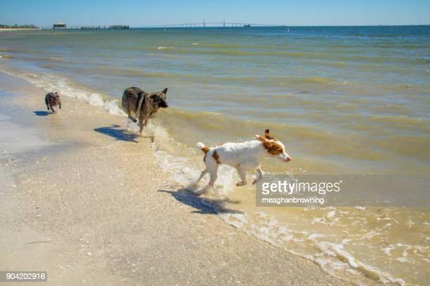 Three dogs running along beach, Fort de Soto, Florida, America, USA
