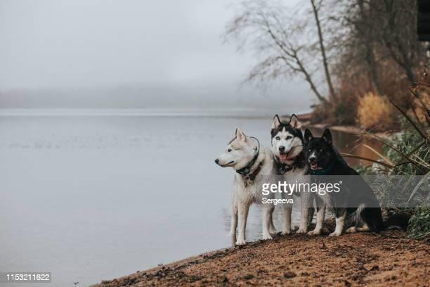 自然の中で3匹の犬のシベリアハスキー - シベリアンハスキー ストックフォトと画像