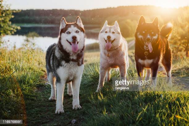 自然の中で3匹の犬シベリアハスキー - シベリアンハスキー ストックフォトと画像