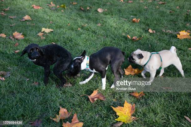 Three dogs sniff each other in London Fields on 7th of November 2020, East London, United Kingdom. A Cockapoo, a Boston Terrier and a Pug sniff and...