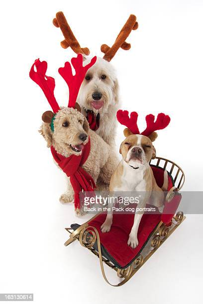 three dogs with christmas antlers a sled - puggle stock pictures, royalty-free photos & images