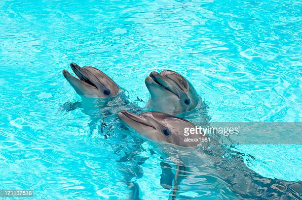 Three Dolphins in a blue water