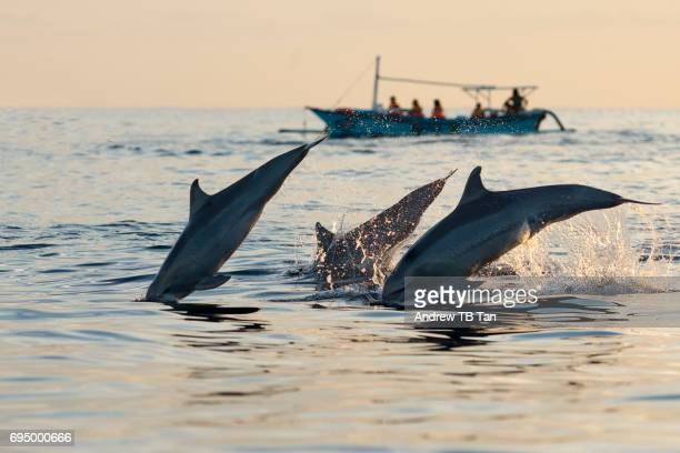 Three dolphins leaping into the sea near a fishing boat