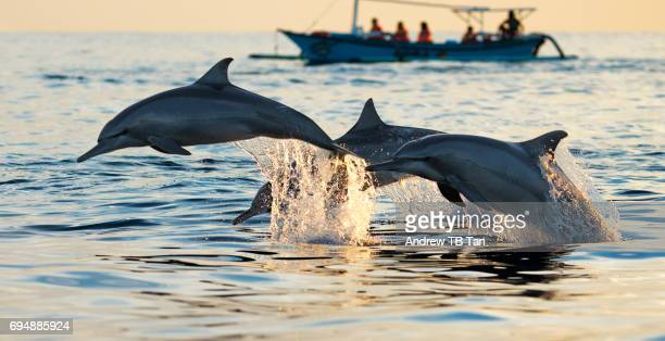 Three dolphins leaping out of the sea near a fishing boat