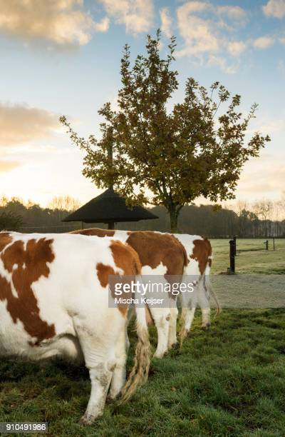 Three domestic cows in field, in a row, rear view