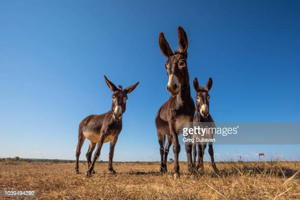 three donkey's on a farm - donkey stock pictures, royalty-free photos & images