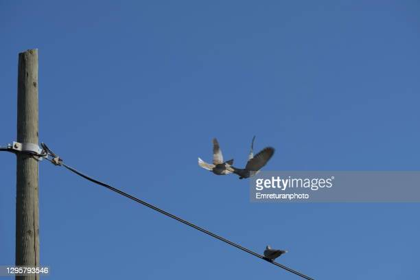 three doves and electric post on a sunny day. - emreturanphoto stock pictures, royalty-free photos & images