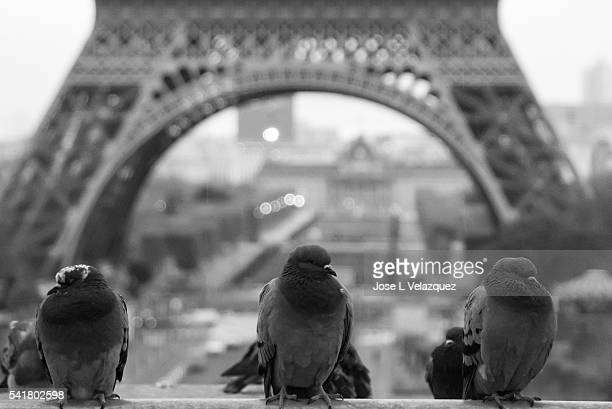 Three doves at the Eiffel Tower.