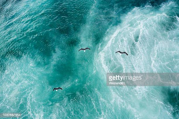 three doves flying over north atlantic - zeevogel stockfoto's en -beelden