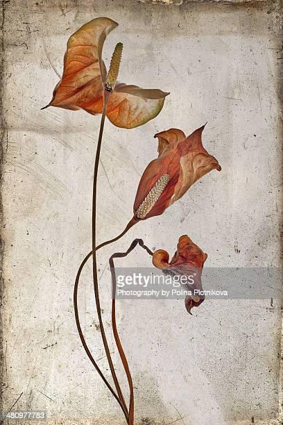 Three dried Anthurium leaves