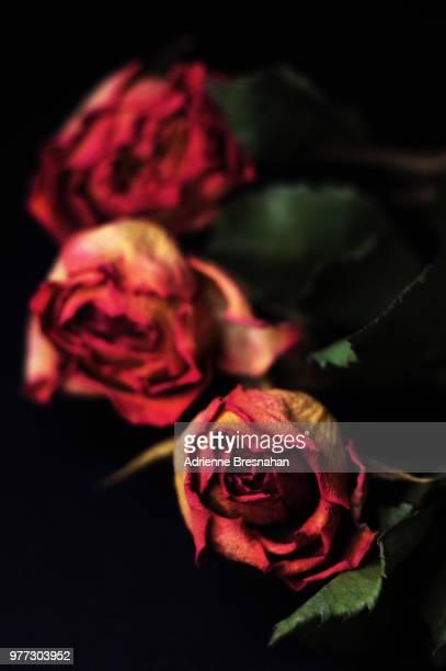 three dried roses - dead rotten fotografías e imágenes de stock