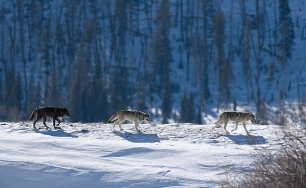 Druid wolf pack of gray timber wolves on snow Yellowstone