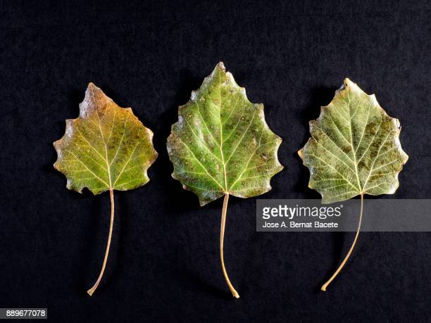 Three dry leaves in autumn of green and yellow color on a black background. Spain