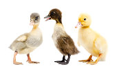 http://www.istockphoto.com/photo/three-ducklings-standing-together-gm905969766-249796199