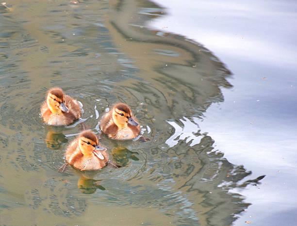 Three Ducklings Swimming In Lake Wall Art