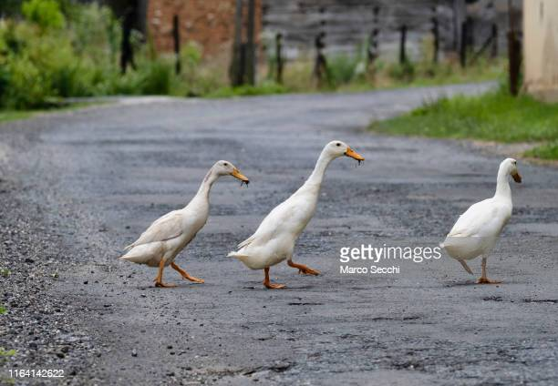three ducks cross a road - marco secchi stock photos and pictures