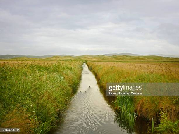 three ducks heading off down a small stream through marshland in Donegal, Ireland