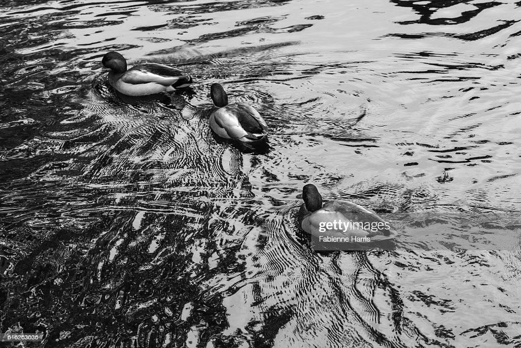 Three ducks : Stock Photo