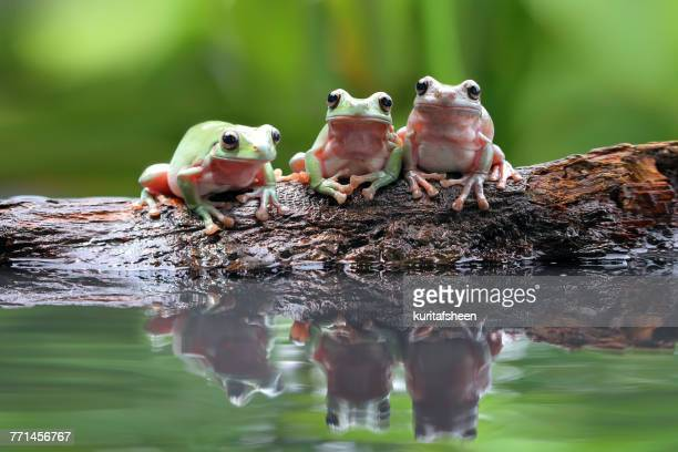 Three dumpy tree frogs on a branch by a pond