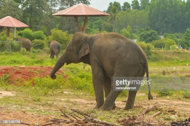 Three Elephants, Surin, Thailand
