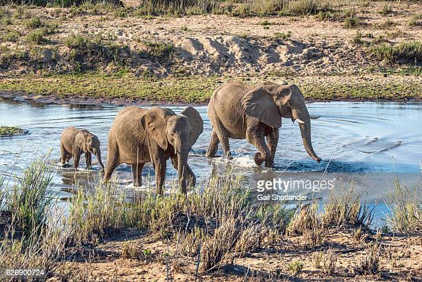 three elephants walking in the river - kruger national park stock pictures, royalty-free photos & images