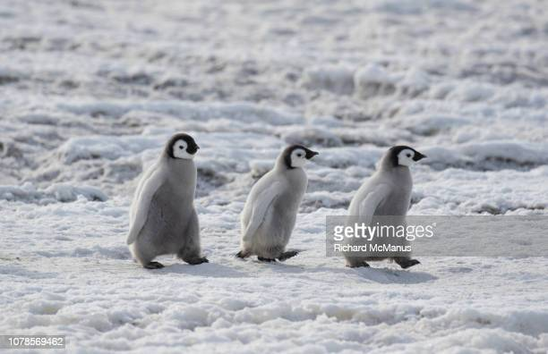 three emperor penguins at snow hill. - emperor penguin chick stock pictures, royalty-free photos & images