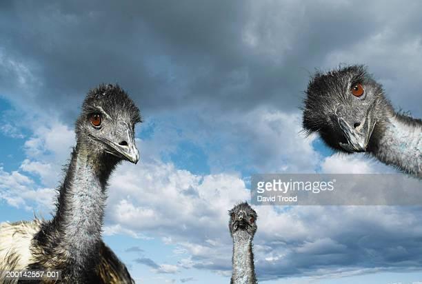 three emus (dromaius novaehollandiae), low angle view - emu stock pictures, royalty-free photos & images