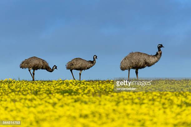 Three Emus standing in a rapeseed field, Mikkira Station, Port Lincoln, Australia