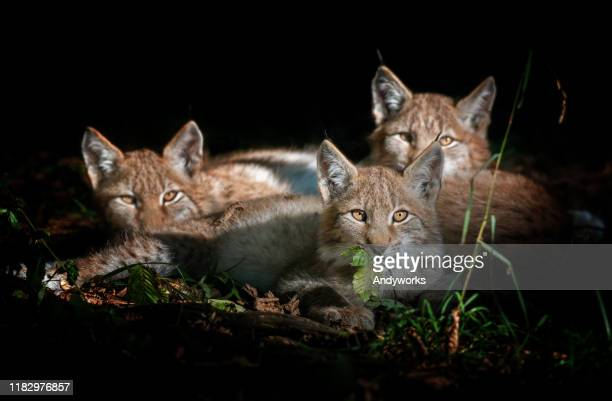 three eurasian lynx kitten - dark panthera stock pictures, royalty-free photos & images