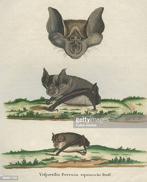 Three examples of the Vespertilio Ferrum Equinum or Greater horseshoe bat circa 1800 Engraving by I Nufsbiegel after a drawing by Buvee
