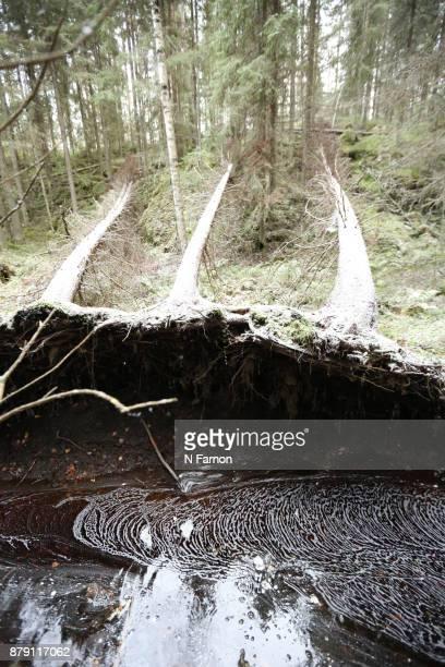 Three fallen trees in Helvetinjärvi National Park, Finland