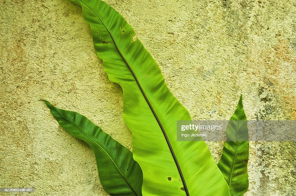 Three fern leaves against old wall : Foto stock