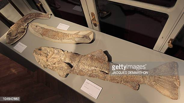 three fish fossil from the cretaceous period a Paraleops a Vinctifer and a Calamopleuris are displayed at Sotheby's auction house in Paris on...